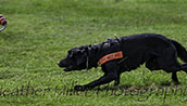 stock working dog photography